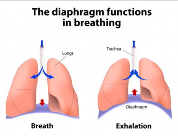 Breathing diaphragm for sport.