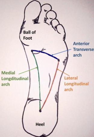 3 arches of the foot.