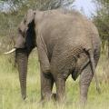 elephant back view, rear end elephant
