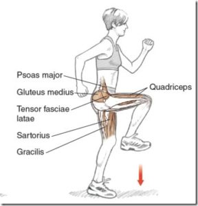 Image result for picture of hip flexor muscle group